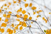 picture of birching  - Beautiful autumnal birch tree branch with yellow leaves - JPG