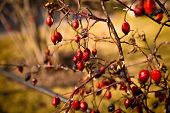 foto of barberry  - Closeup toned photo of barberry berries growing on bush - JPG