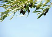 picture of olive trees  - Black olives on the tree against blue sky - JPG