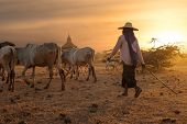 picture of herd  - Burmese herder leads cattle herd through amazing sunset landscape with ancient Buddhist pagodas at Bagan. Myanmar (Burma) travel destinations