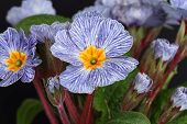 image of primrose  - Blue striped primrose with flowers and leaves - JPG