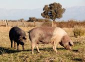 picture of farrow  - Iberian pig in the field of Extremadura - JPG