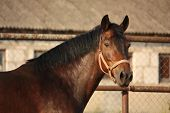 pic of brown horse  - Portrait of brown horse neighing in summer - JPG