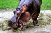 stock photo of hippopotamus  - Photo of a Hippopotamus in the zoo - JPG