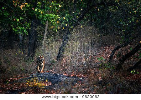 A Huge Male Tiger Walks Straight Head .