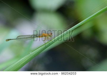 A Gold Damselfly