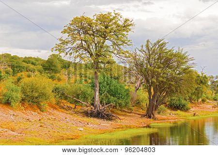 Trees At Chobe River