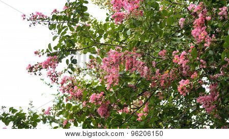 Pink Crepe Myrtle Tree In Bloom Against Sky.