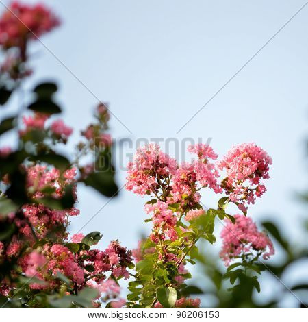 Pink Crepe Myrtle Flowers, Square Image