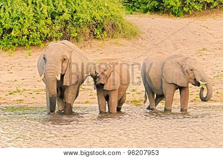 Elephants At The Bank Of Chobe River In Botswana
