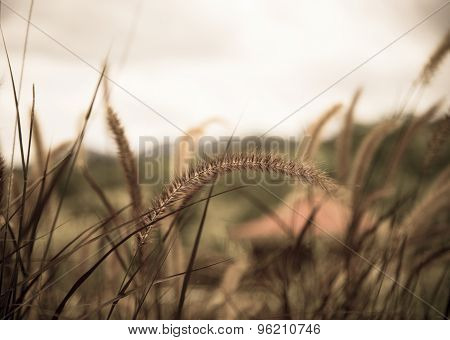 Poaceae Grass Flower In The Lawn.