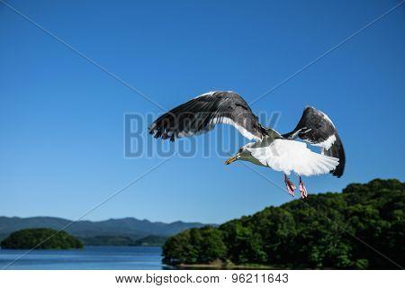 Flying Seagull At Toya Lake