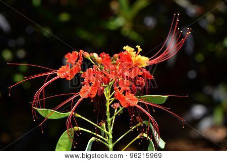 Pride of BarbadosLatin name Caesalpinia pulcherrima