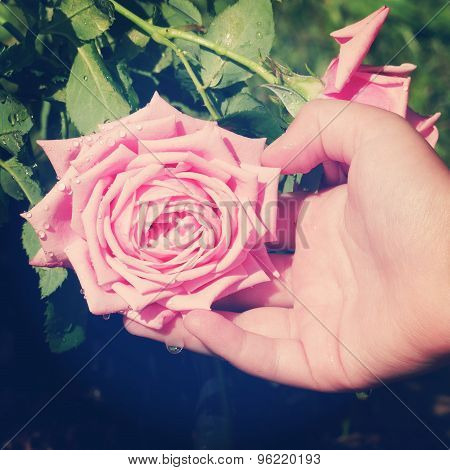 Instagram Of Childs Hand Supporting Pink Rose