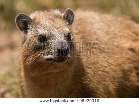 Portrait of a Hyrax