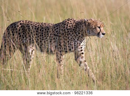 Young male Cheetah