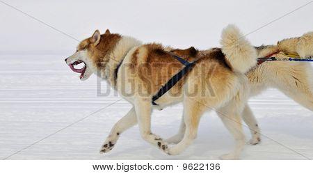 Sled Race Dog