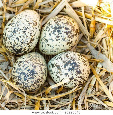 Killdeer eggs in nest.