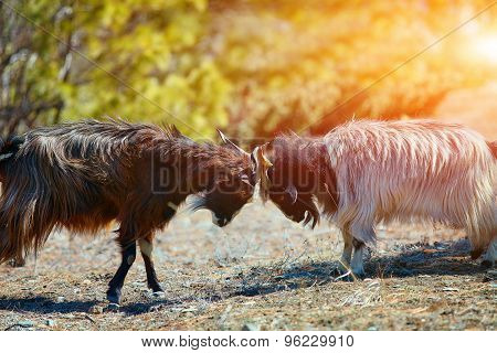 mountain goats fighting