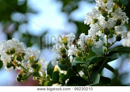 Closeup Of White Crepe Myrtle Blooms