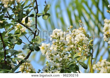 White Crepe Myrtle Blooms With Tropical Palm