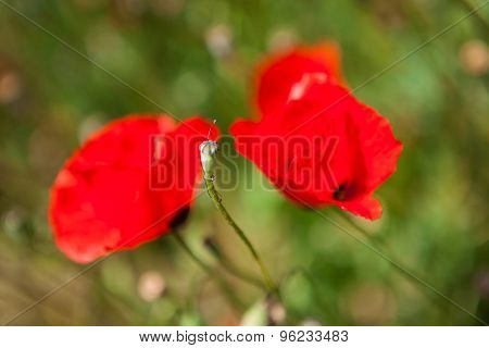 Close-up of big red poppy flowers in summer