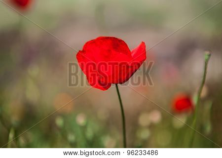 Close-up of red poppy flower in summer