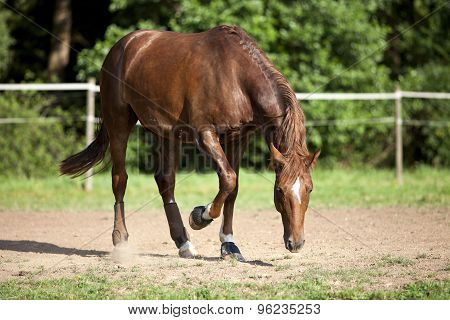 Horse on paddock paw the ground