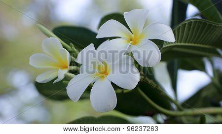 White Plumeria Flower