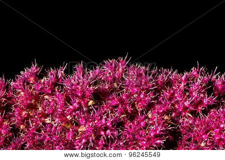 Amaranth Is A Close-up