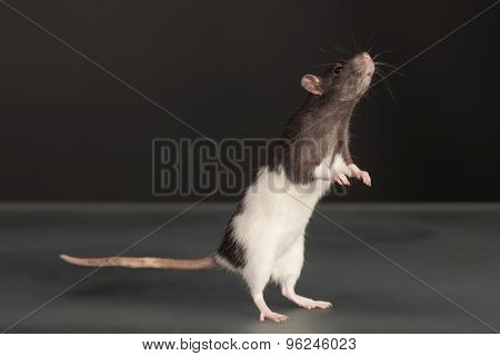 Standing Domestic Rat