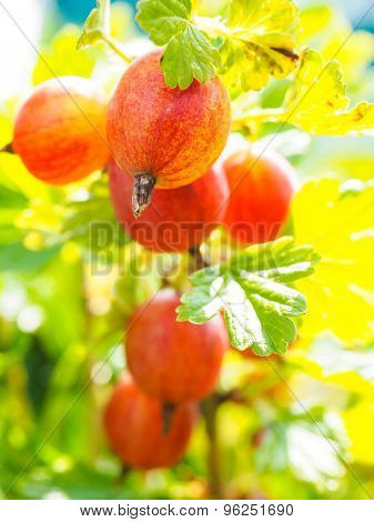 Unripe hinomeaki Ribes