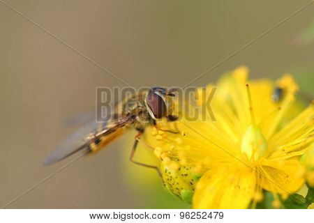 Hoverfly( Episyrphus Balteatus) On Hypericum Flowers
