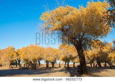 Poplar Trees In Autumn Season With Yellow Leaves