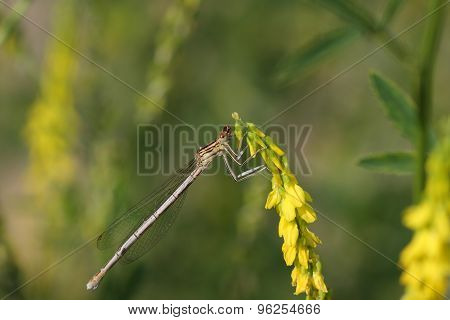 Female Of Common Blue Damselfly (enallagma Cyathigerum)