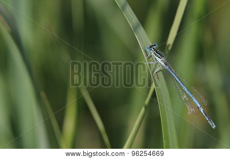 Common Blue Damselfly (enallagma Cyathigerum) Sits On A Grass By Lake