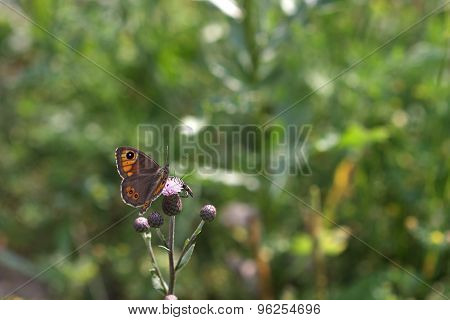 Woodland Ringlet (erebia Medusa) Sits On A Bloom Thistle (cardus Crispus)