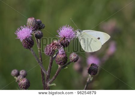 White Butterfly (pieris Brassicae) Sits On A Bloom Thistle (carduus Crispus)