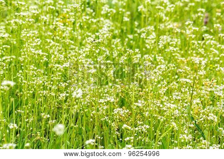 Green Summer Lawn With Wild Flowers