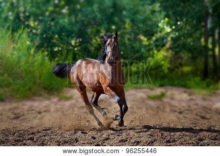 young horse runs