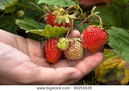 Hand With Berry Strawberries
