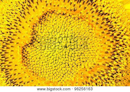Core Of A Yellow Sunflower, Macro