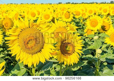 Flowers Of Yellow Sunflowers Close Up