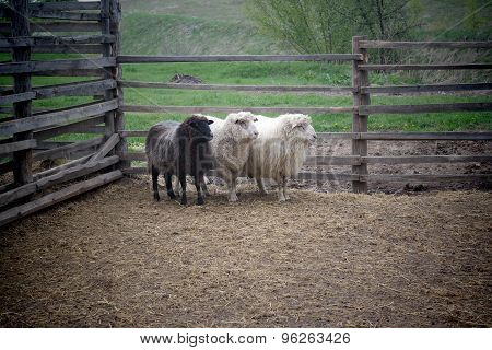 beautiful young sheep on a farm outside the fence