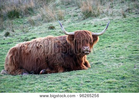 Scottish Highland Cow Resting In A Field.
