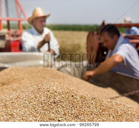 Wheat Grain In Tractor Trailer