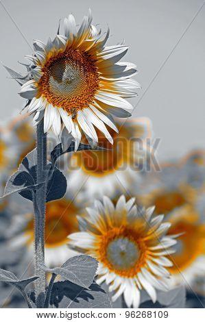 Black And White Variation At Sunflower 1