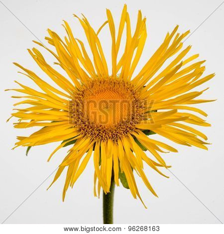 Yellow Flower Of Inula Isolated On White Background