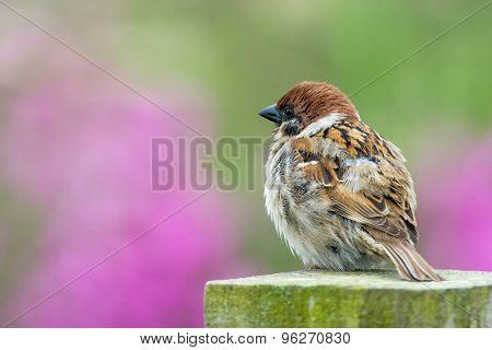 Fluffy Tree Sparrow Chestnut coloured bird