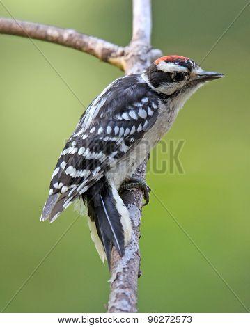 Summer Woodpecker